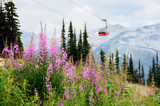 Whistler, BC / Canada - August 31, 2019: Fireweed on Blackcomb Mountain with a gondola and Whistler Mountain in the background.