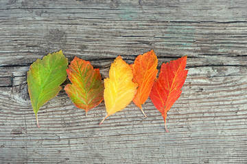 autumn background with different shades leaves. fall season. Gradient leaves on different stage autumns senescence. colorful autumn leaves on rustic wooden boards texture. close up.