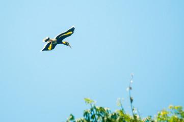 Great hornbill at Khao Yai national park