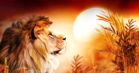 Spoed Foto op Canvas Leeuw African lion and sunset in Africa. Savannah landscape with palm trees, king of animals. Spectacular warm sun light, dramatic red cloudy sky. Portrait of pride dreaming leo in savanna looking forward.