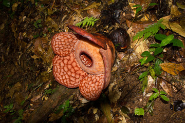 Rafflesia, the biggest giant flower in the world, Malaysia, Asia