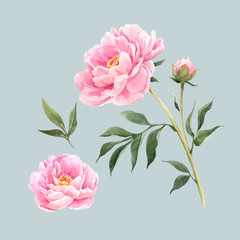 Watercolor peony flowers vector illustration