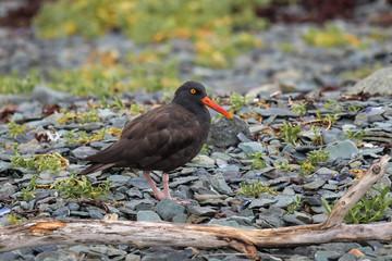 Austernfischer In Alaska- diese Vögel sind jedoch auch im Wattenmeer und an der Nordseeküste zu finden. Sie werden auch  scherzhaft Halligstorch genannt