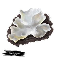 Tremella fuciformis fungus, snow silver ear fungus, white jelly mushroom. Edible mushroom closeup digital art illustration. Boletus cap. Mushrooming season, plant grows in forests. Web print, clipart,