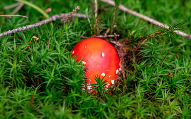 Fliegenpilz im Wald, Giftiger Pilz Close Up Detail Copy Space