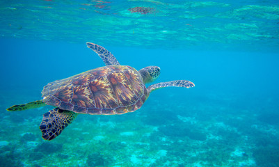 Papiers peints Tortue Sea turtle swimming under sea surface. Green turtle underwater photo. Tropical seashore wildlife. Wild marine tortoise