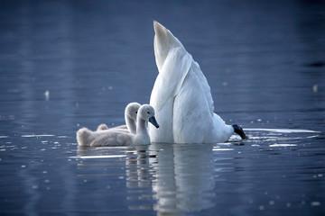 Foto op Plexiglas Zwaan Zwei Schwan-Küken mit tauchender Mutter