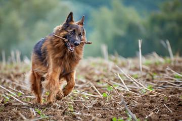 Deutscher Schäferhund spielt auf einem Feld