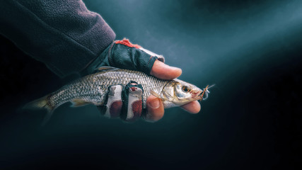 Dace in the hand of a fisherman, close-up on a dark background.