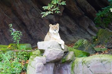 Photo on textile frame Tiger Leeuwin tijger zoo Antwerpen 2019