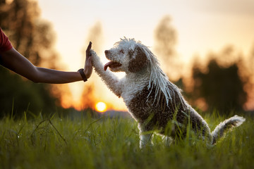 spanish water dog gives paw to owner at sunset