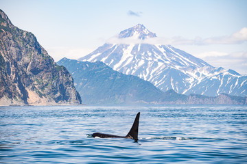 Keuken foto achterwand Dolfijn Killer whales in Kamchatka. Killer whales in the wild against a landscape with volcanoes