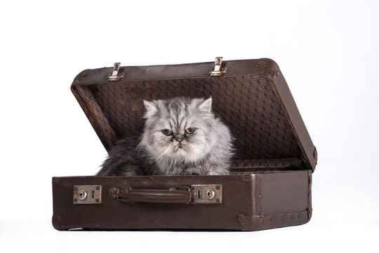 Adorable gray cat in travel bag on white background