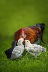 Cock with chicks in a meadow