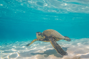 Foto op Plexiglas Schildpad Sea turtle swimming over sand in clear blue water