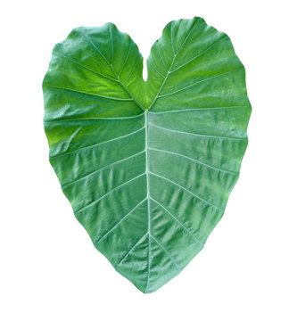Fresh green taro leaf isolated on white background without shadow