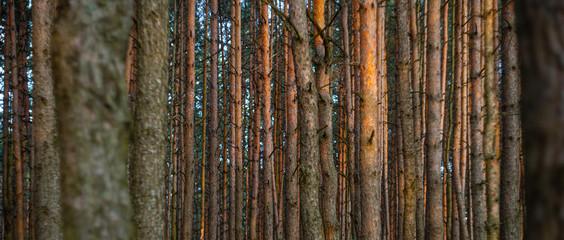 Aluminium Prints Autumn Pine forest background