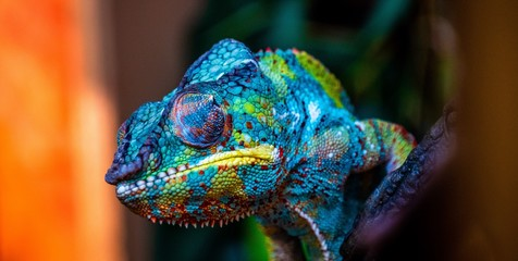 Photo sur Aluminium Cameleon chameleon with amazing colors