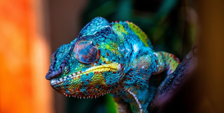 chameleon with amazing colors