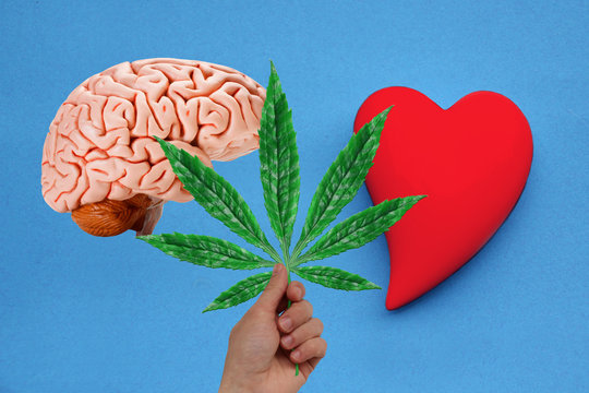 human brain model, male hand with green leaf of hemp and ceramic heart model on a blue background, medical cannabis concept, close-up, copy space
