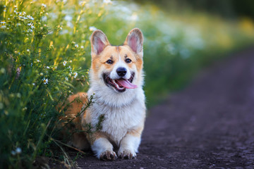 cute puppy a red Corgi dog sits in a meadow by the road in a village surrounded by white chamomile flowers on a Sunny clear summer evening sticking out his tongue
