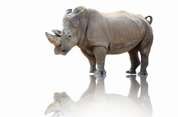 Foto op Aluminium Neushoorn Rhinoceros walk scene. Rhino portrait