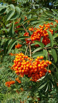 Autumnal orange berries at the arboretum