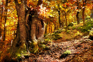 old chestnut tree in autumn forest with gold light