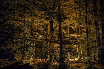 Wall Mural - Scenic Fall Forest at Night