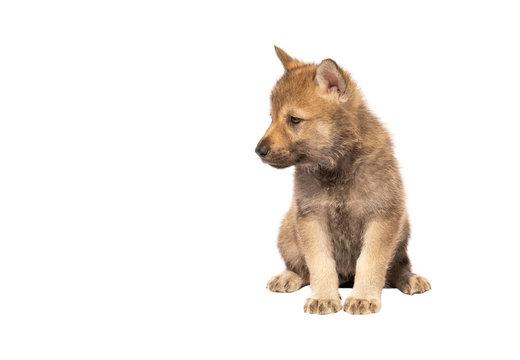 Czechoslovakian Wolfdog puppy isolated on white background