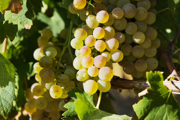 Autumn harvest of grapes for excellent wine.