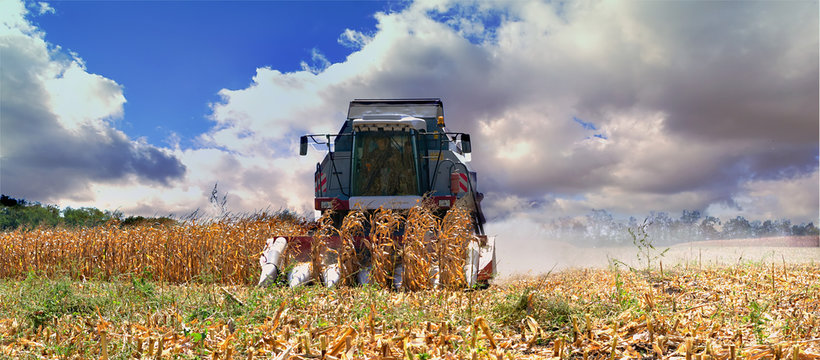 Harvesting corn with a red harvester on a hot sunny day.