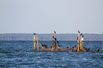Cormorants in Chesapeake Bay