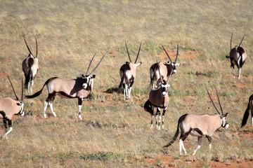 Wall Murals Antelope namibie