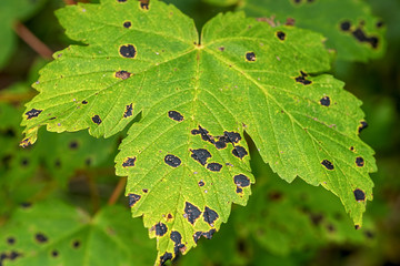 Rhytisma acerinum on a maple leaf. It is a plant pathogen that commonly affects sycamores and maples in late summer and autumn, causing tar spot.