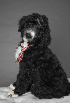 Portrait of bernedoodle puppy isolated on grey background
