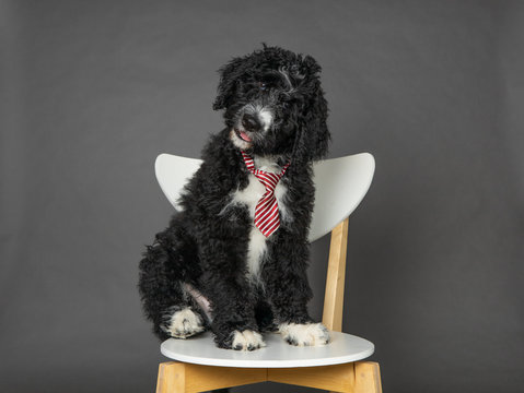 Isolated Bernedoodle puppy sitting on chair wearing a tie