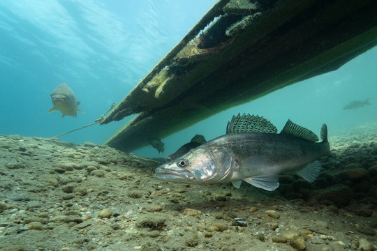 Zander (Sander lucioperca) under the water. Carnivorous fish with marked fins. captured under water. River habitat. Wildlife animal. Pike-perch swimming with a carp.