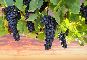 Foto auf Leinwand Weinberg Fresh ripe red wine grapes before harvest in a vineyard at a winery