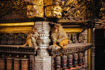 Macaque Monkeys In Kathmandu, Nepal. Located in Swayambhunath Stupa (Monkey Temple).