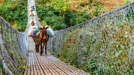 Donkeys crossing metal suspension bridge in Nepal, Himalayas, Manaslu circuit trek.