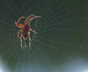Large Brown Female Garden orb weaver Spider (Family Araneidae, Genus: Eriophora) on Cobweb