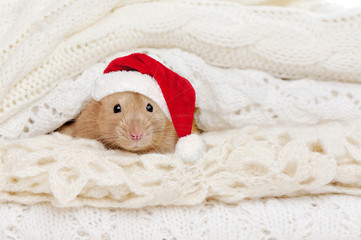 Close-up picture of rat wearing Santa hat hiding between knitted sweaters