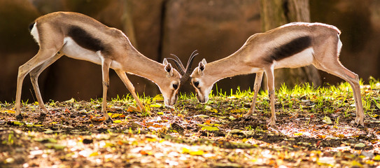 two speke's gazelles in a head to head confrontation