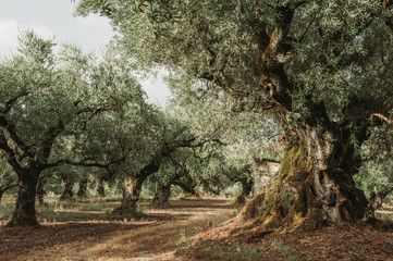Poster Khaki Olive Grove on the island of Greece. plantation of olive trees.