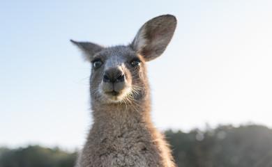 Photo sur Plexiglas Kangaroo wildlife animal young child kid joey kangaroo Australian animal close up face