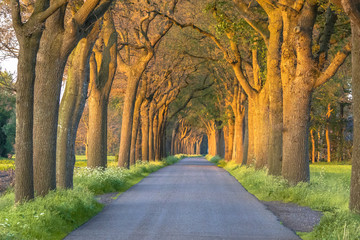 country road with Oak lane Wall mural