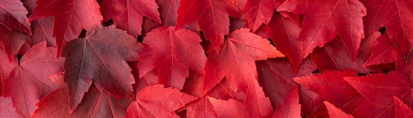 Fototapeta Fall color nature background, narrow border of red maple leaves obraz