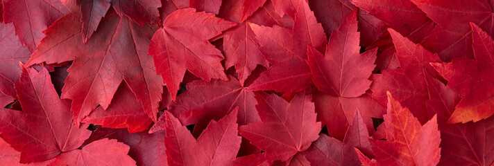 Fall color nature background, narrow border of red maple leaves