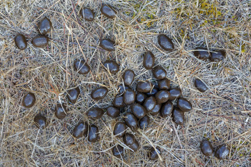 Excrementos de ciervo común sobre la hierba seca. Cervus elaphus.